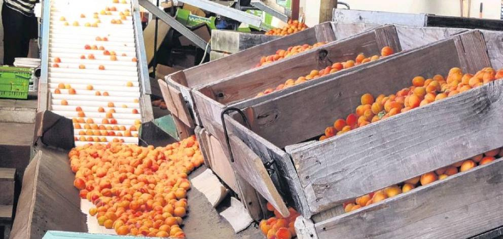 The last of the season's apricots were being graded and packed at Waitaki Orchards in mid-February. Photo: Sally Brooker