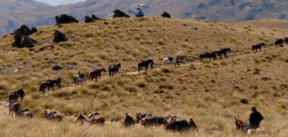The Tussock Creek helicopter sits on a hilltop as the Nokomai Nevis Miners Riding trail streams out below on Ben Nevis Station during one of Otago's annual Cavalcades. Photo: Stephen Jaquiery