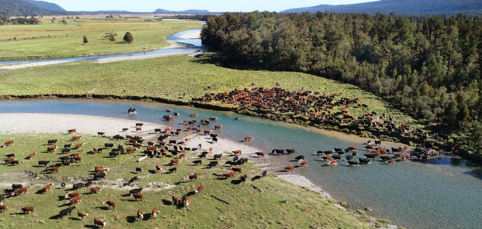 Nolan cattle cross a river in the Cascade Valley on Saturday.PHOTO: STEPHEN JAQUIERY