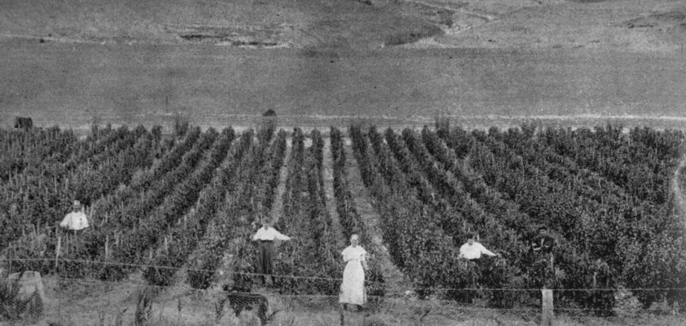Portion of a crop of 9000 tomato plants on Mr Phil Miller's orchard, Cromwell Gorge. - Otago Witness, 21.5.1919