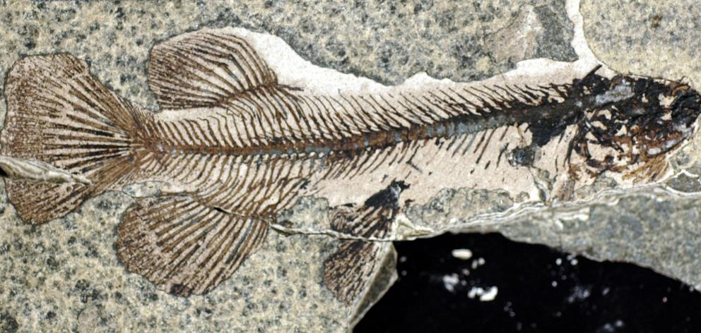 This fossil was taken from Foulden Maar, near Middlemarch. PHOTO: SUPPLIED