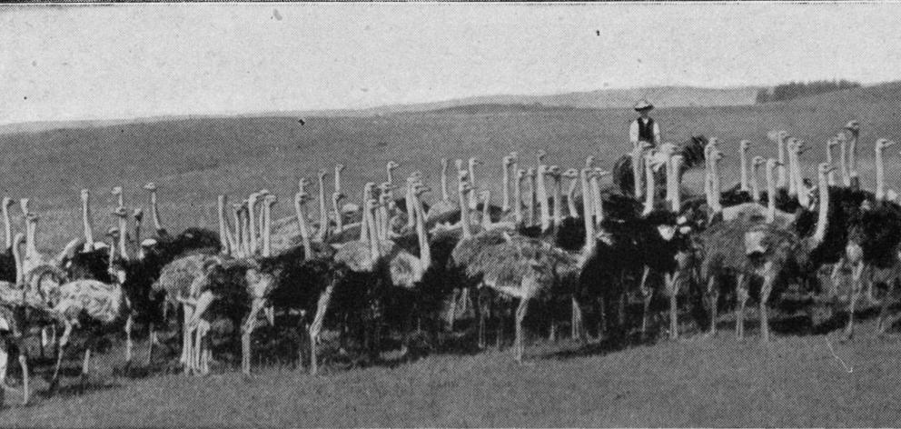 An ostrich farm at Pukekohe, Auckland. - Otago Witness, 14.5.1919