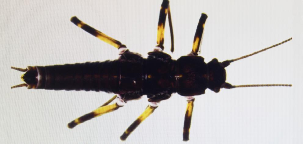 A magnified Maungatua stonefly. PHOTO: GERARD O'BRIEN
