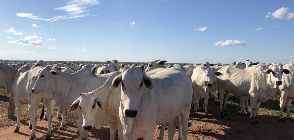 Nulore in-calf heifers. Nulore are a common breed found in the Brazilian state of Mato Grosso, popular due to their ability to handle the hot summer temperatures. Photo: Supplied