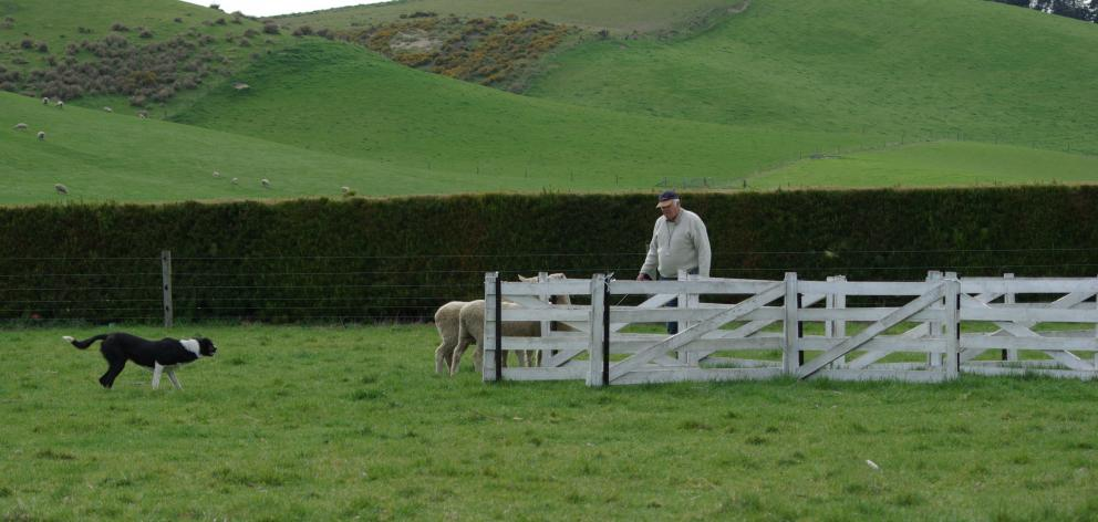 Peter Boys and his dog, Rick, move sheep into the Maltese cross at the Levels Sheepdog Club's Tux yarding event in 2011. Photo: Allied Press Files