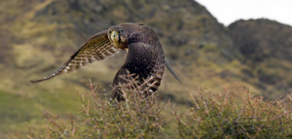 A native falcon swoops past as the Ross family express their passion about flora and fauna. PHOTO...