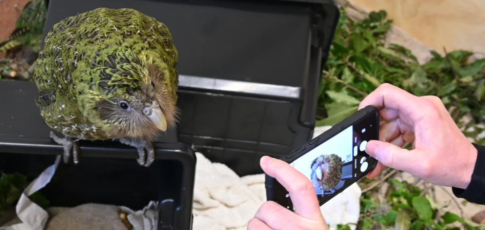One of the kakapo being hosted at Dunedin Wildlife Hospital, all of which are about to be returned to the wild. Photo: Craig Baxter