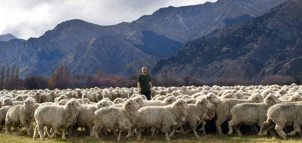 Farm manager Jack Mansfield works sheep in the diverse terrain of Lake Hawea Station. PHOTO:...