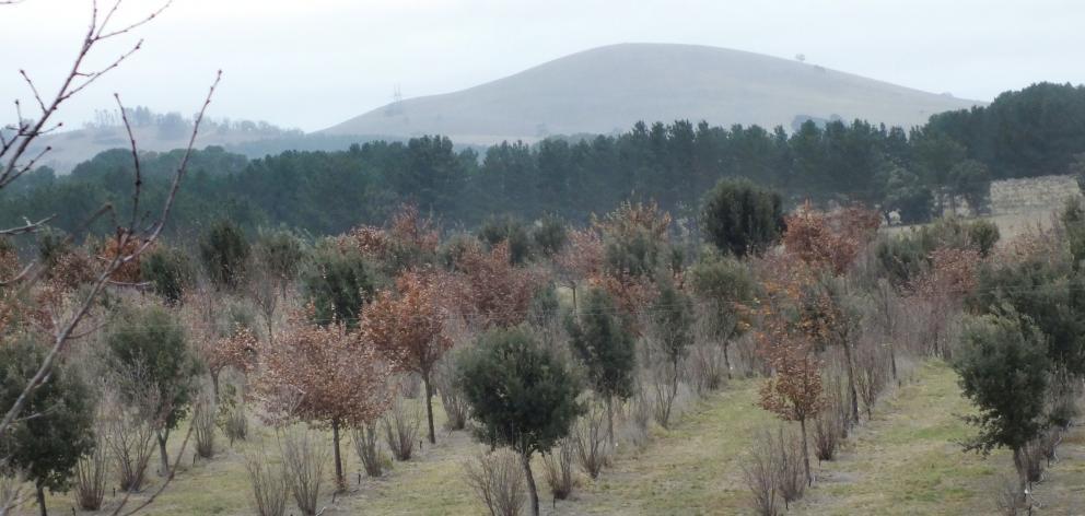 Oaks and hazelnuts are the truffle hosts at Tarago Truffles, near Canberra. Photos: Gillian Vine