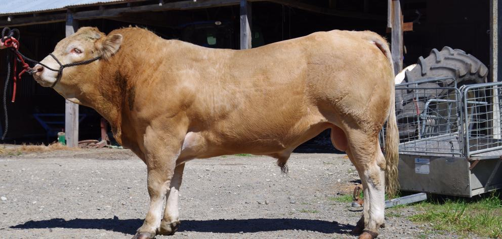 A blonde d'Aquitaine bull is led in the yard at the Herbert's Omihi farm.