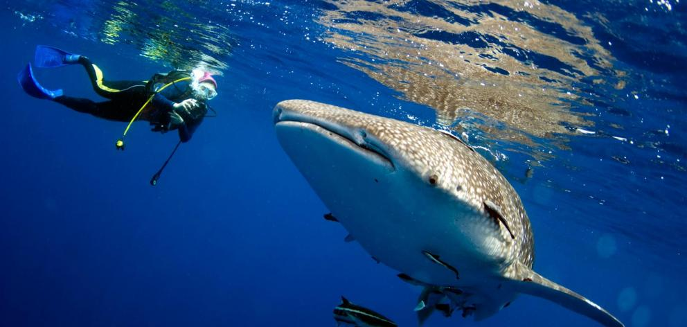 Swimming with whale sharks is not for everyone.