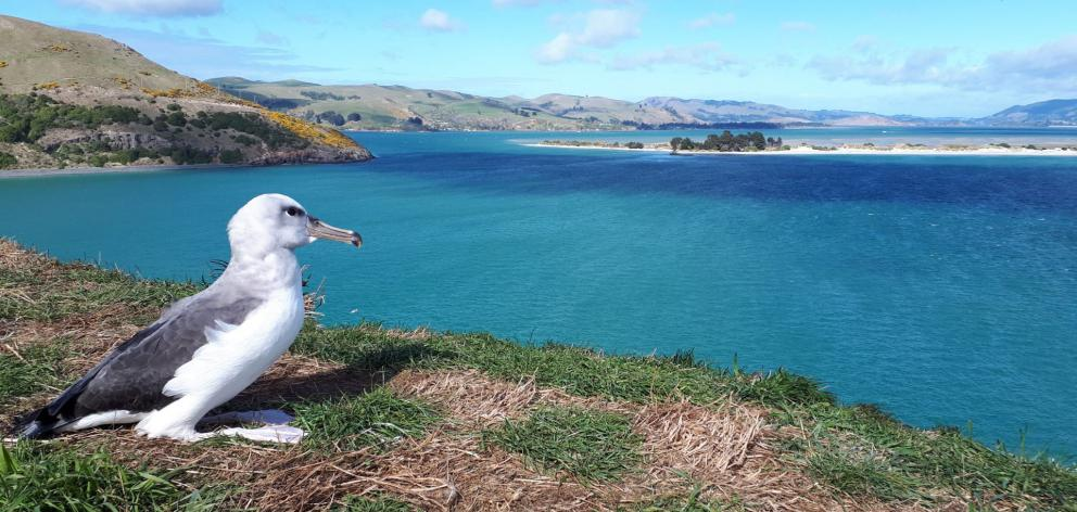 A juvenile Buller's mollymawk prepares to depart Taiaroa Head yesterday morning, hours after...