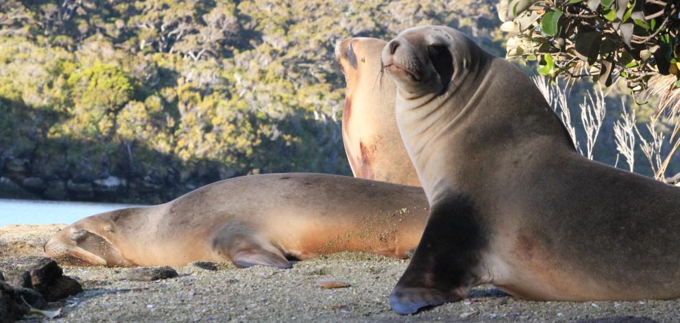 Sea lions on Stewart Island/ Rakiura. Photo: Supplied