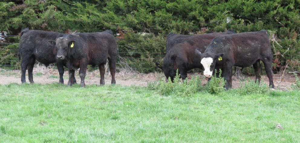 Glenside Simmental Stud is offering one R2 and five yearling black maternal Simmental bulls in a...