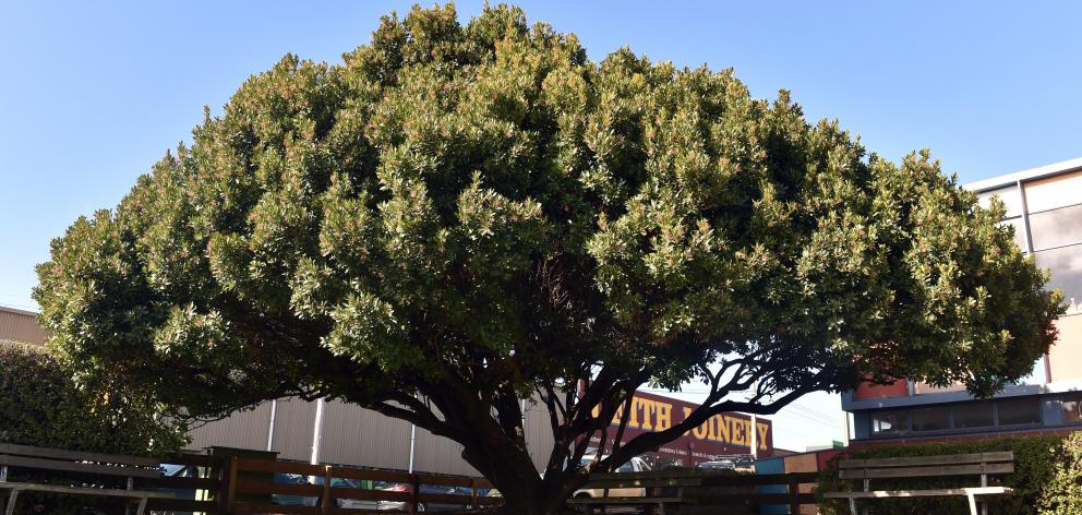 This lovely spreading strawberry tree in Birch St, Dunedin, is close to the southern end of the...