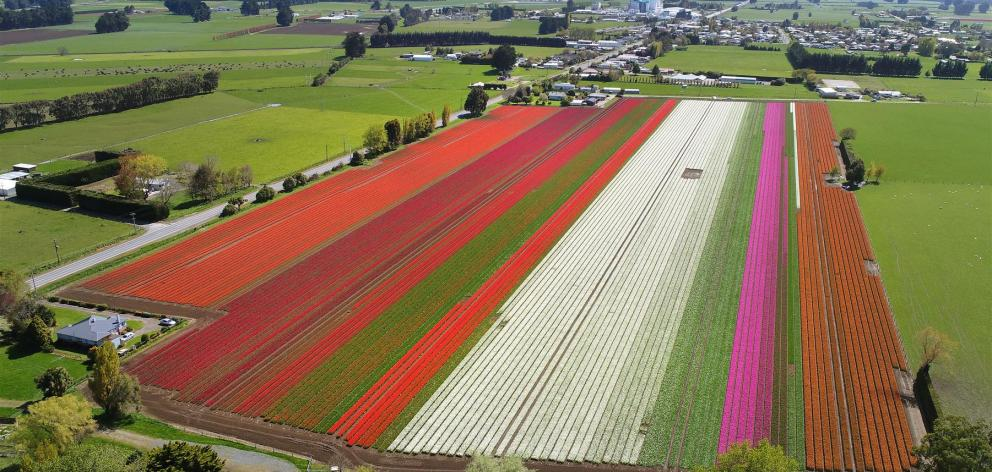 Tulips in full bloom at a farm in Edendale yesterday. Nearby Triflor NZ is having its annual open day on Monday. Photo: Stephen Jaquiery