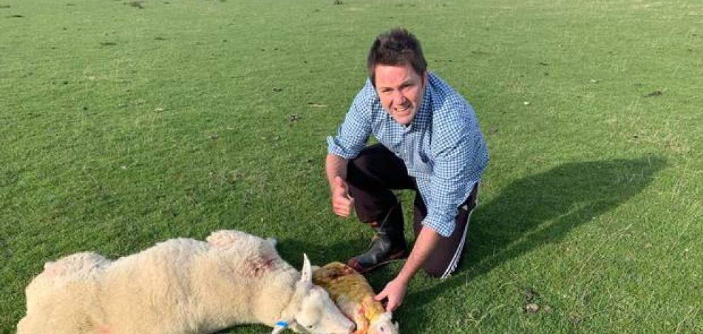 Clutha-Southland MP Hamish Walker with the newborn lamb and its mother in a paddock near Garston. Photo: Supplied