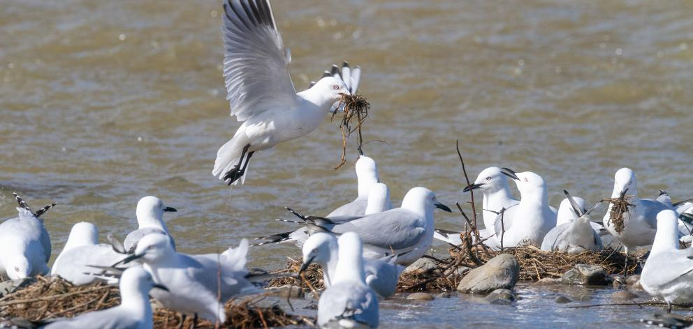Black-billed gull nests just as they were being washed out by the October 19 flood in the Ashley-Rakahuri River. The gulls seemed determined not to be washed out and were still bringing nesting material to their doomed nests. Photos: Grant Davey