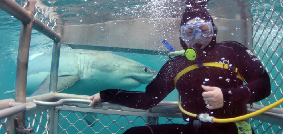 A great white shark cruises past a shark cage diver off Edwards Island near Stewart Island. Photo...