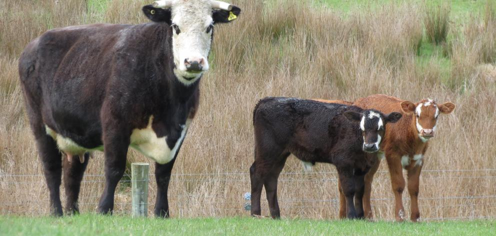 This Angus cow, near Alexandra, gave birth to bull calf twins last month, which is uncommon. Photos: Yvonne O'Hara