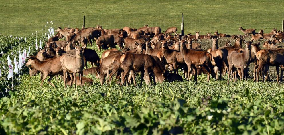 Red deer graze on winter feed near the Remarkables skifield road. PHOTO: STEPHEN JAQUIERY