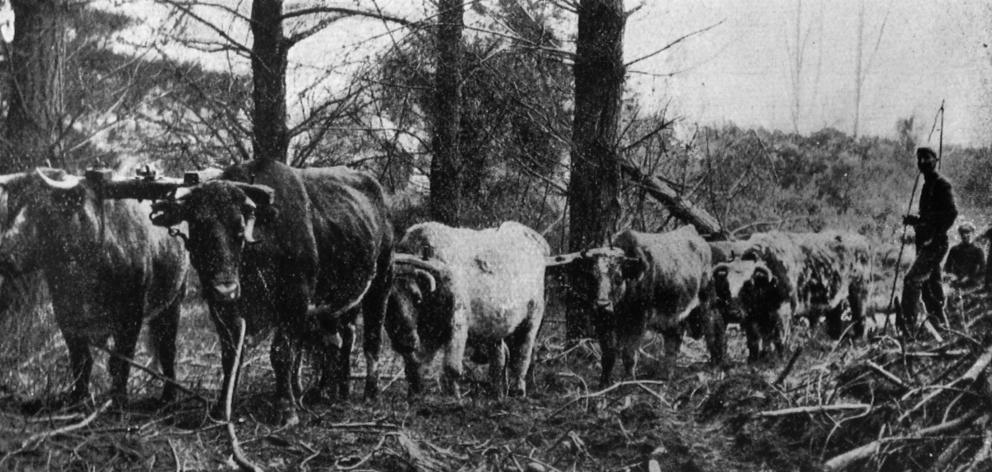 A bullock  team at work in  the Burwood plantation, near Christchurch. — Otago Witness, 25.11.1919.