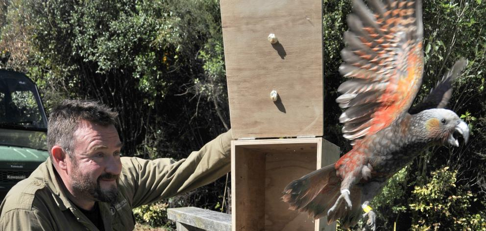 Orokonui conservation manager Elton Smith (seen here releasing a kaka) says two young female of...