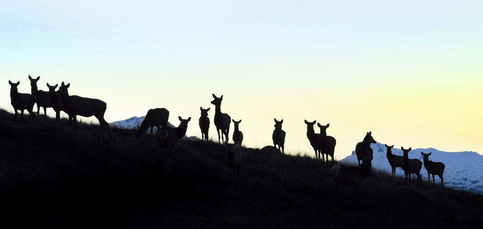 Red deer silhouetted against the gathering gloom on the outskirts of Te Anau. Photo: Stephen...