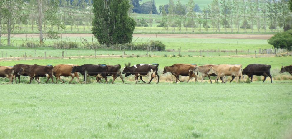 Dairy cows belonging to Jim Andrew, of Dipton, head for their once-a-day milking.