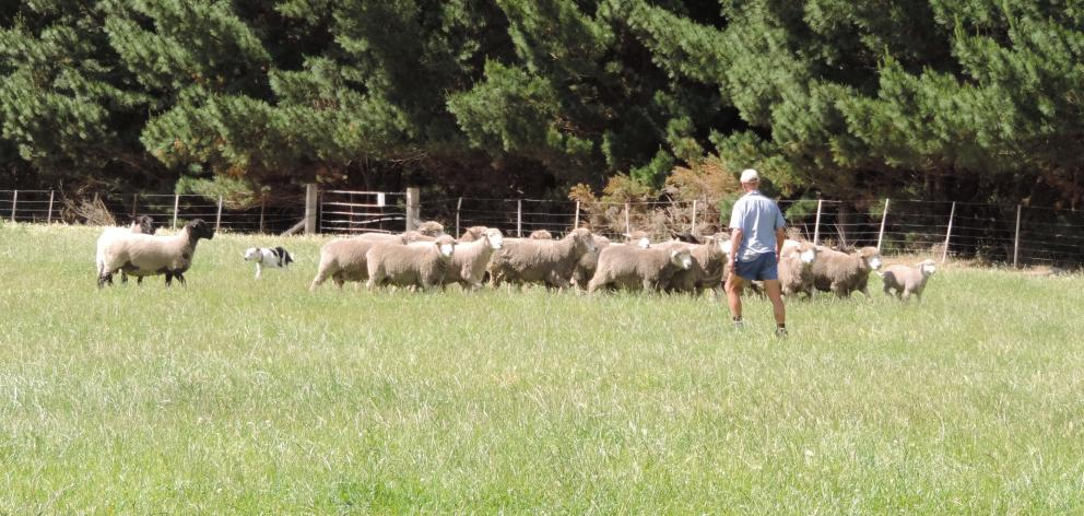 These flock rams in the home paddock at Collie Hills have been sold.