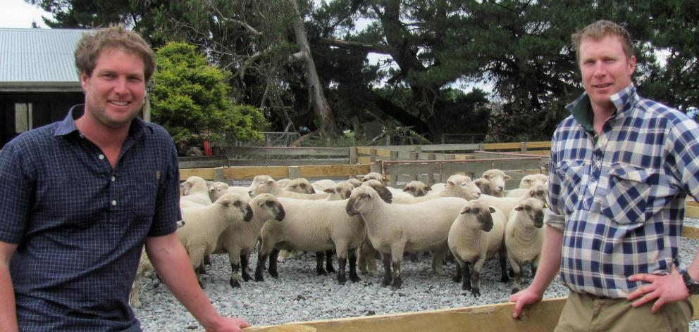Cameron and Andrew Letham round up hoggets ahead of their inaugural on-farm ram sale at Hermiston farm, at Mitcham, Mid Canterbury. Photos: Toni Williams