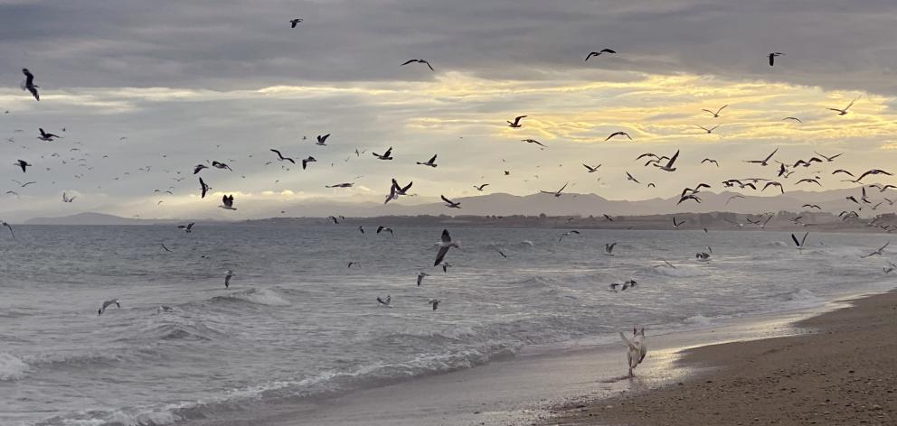 Hundreds of seabirds, including red-billed gulls and white-fronted terns, converge on a beach south of Cape Wanbrow on Tuesday evening as small fish wash ashore. Photos: Rebecca Ryan