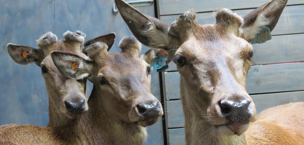 Solid deer sales throughout the country, including two in Southland, means the industry is in ''pretty good heart'',  auctioneer Auctioneer Neville Clark says. Photo: Yvonne O'Hara