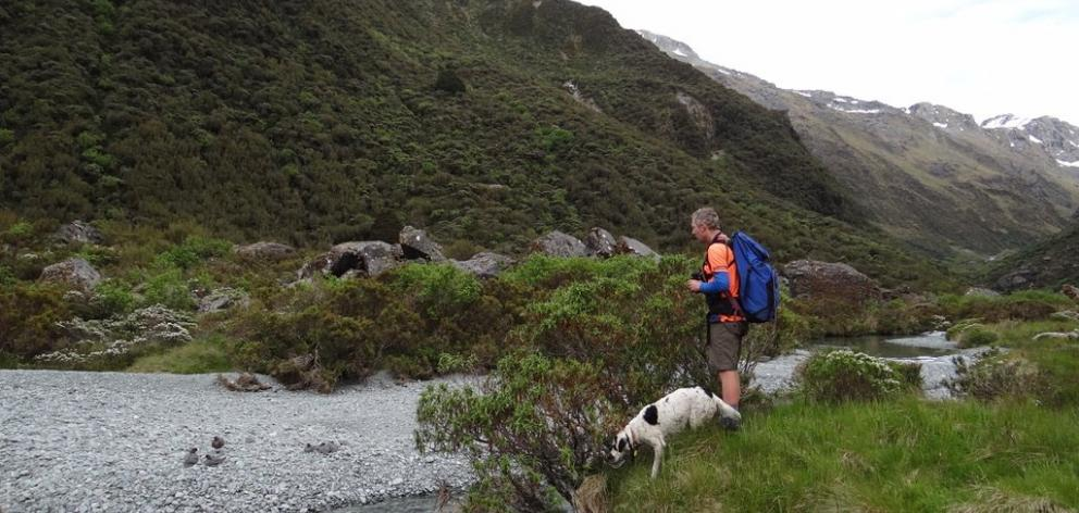 Doc contractor Paul Van Klink and his conservation dog Hoki counting whio in the Routeburn Valley...