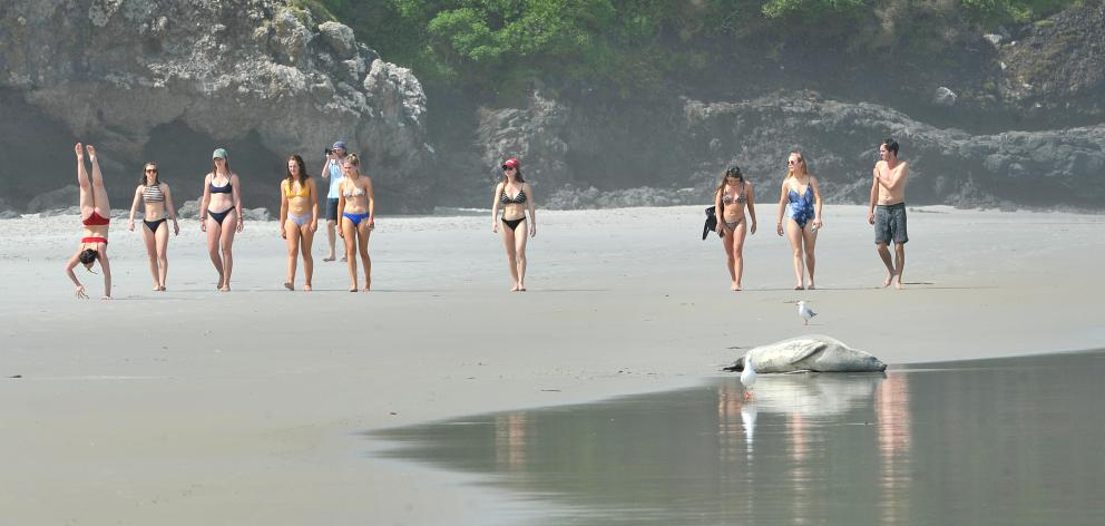 Beachgoers remain unaware of a crabeater seal sunning itself on Tomahawk Beach yesterday...