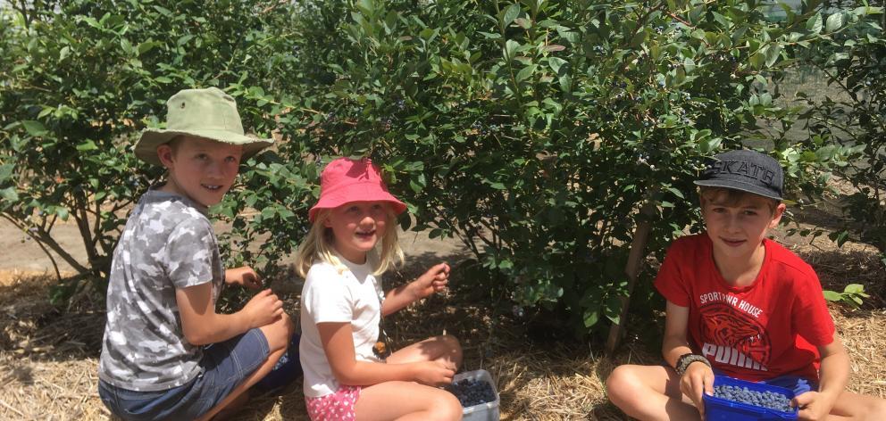 Fletcher Riley (9, left), Zara Riley (6) and Theo Gleeson (10) pick their own blueberries. Photos: George Clark