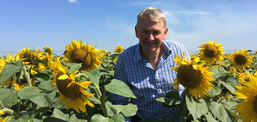 Turley Farms Roger Lasham inspects the sunflowers planted at the farm's Chertsey property. Photo: Toni Williams