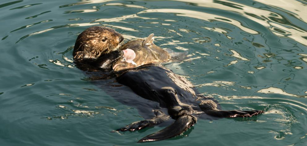 A northern sea otter dines on fish.