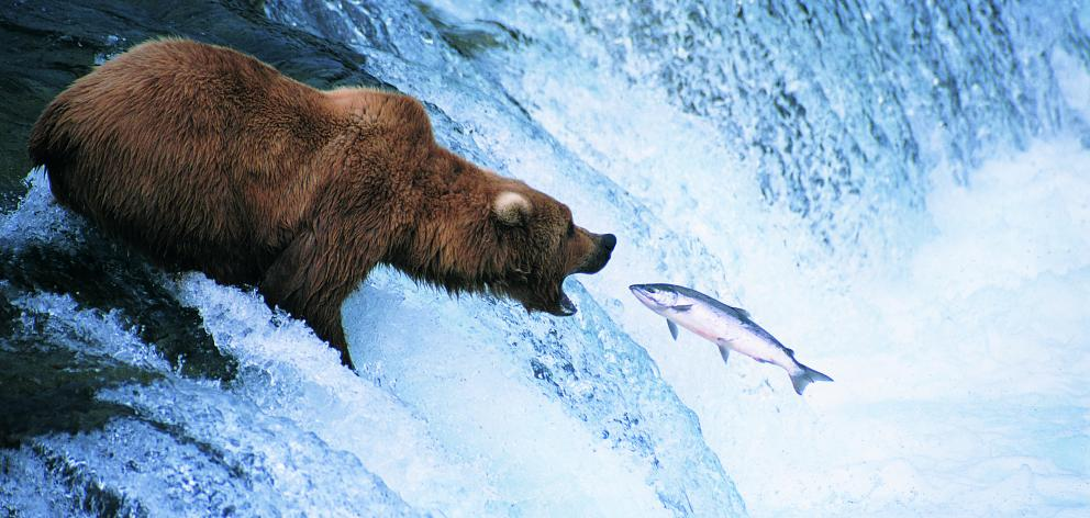 A brown bear catches a salmon. PHOTOS: GETTY IMAGES