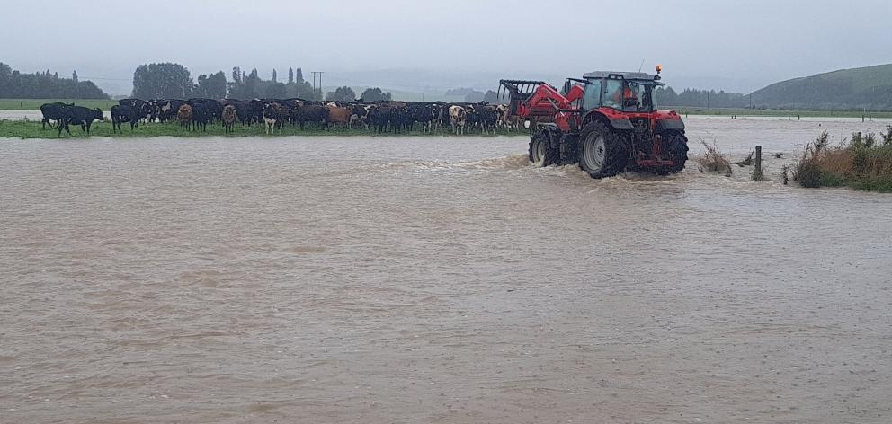 Kelso dairy farmer Adam McCall attends to stock stranded by the Pomahaka River during January's...