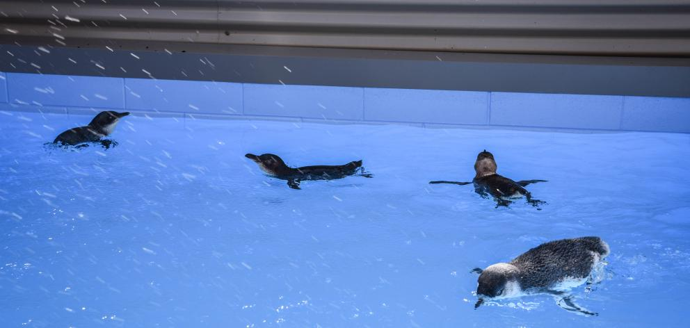 Little penguins rehabilitate in the colony's new permanent pool. PHOTO: SUPPLIED/CINDY MOTTELET