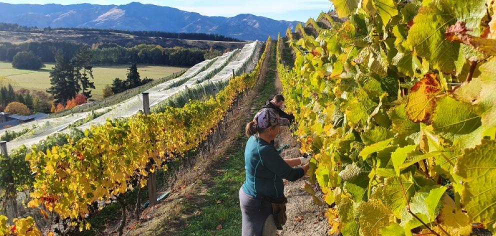 Keeping their distance ... Maude Wines grape picker Ian Thomas and viticulturist Pip Feyen work...