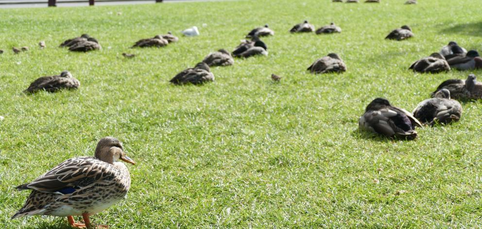 Ducks sleeping in Earnslaw Park undisturbed.