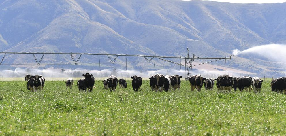 Friesian bulls are fattened on pivot irrugated crop at Black Peaks farm on the Luggate river flat below the Wanaka airport. Photo: Stephen Jaquiery