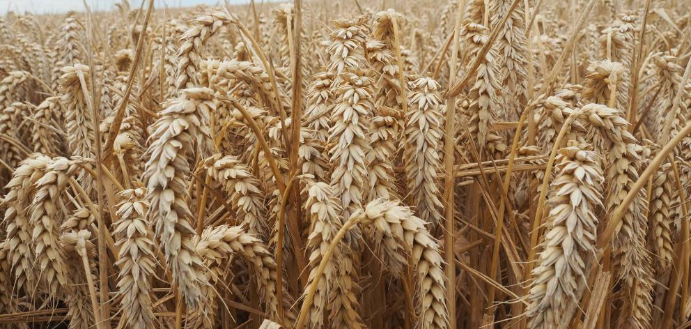 The Guinness World Record crop was of the Kerrin wheat variety. PHOTO: SUPPLIED