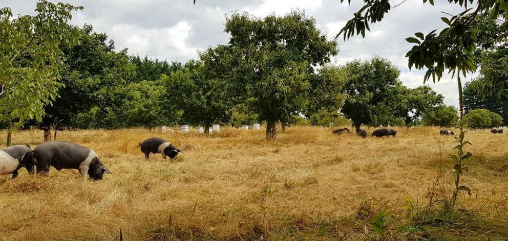 Pigs graze under chestnut trees at the Poaka Free Range Pigs farm. PHOTO: SUPPLIED BY JOSH HILL
