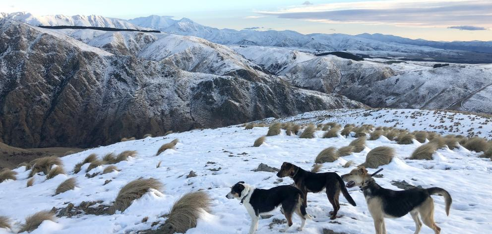 Dogs in the snow at Dome Hills Station. Photo: Supplied
