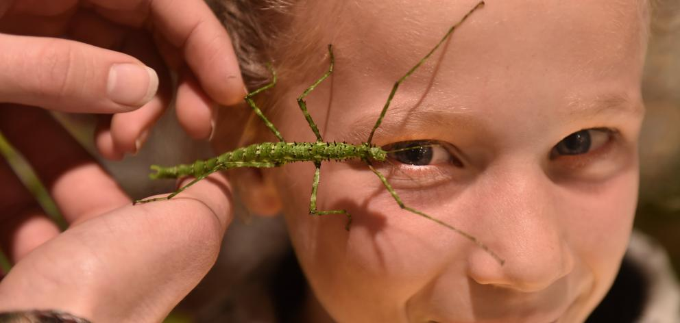 Sylvie Haig (9), of Dunedin, encounters a prickly stick insect at a science festival event...