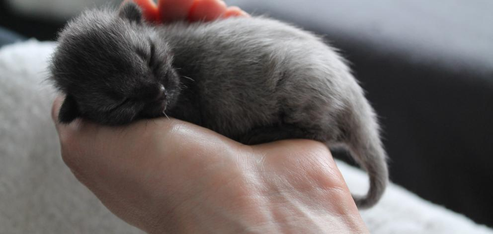 The size of a mouse and wearing his fever coat, Bruce the orphan kitten sleeps 