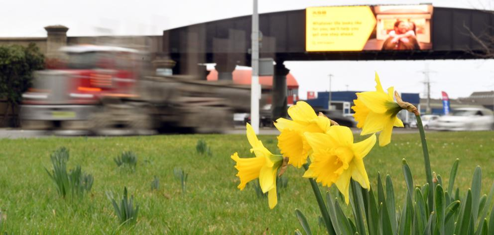 Daffodils start to show beside Andersons Bay Rd in Dunedin. PHOTO: STEPHEN JAQUIERY.
